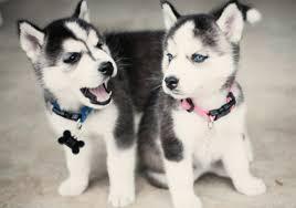 CUTE S.I.B.E.R.I.A.N H.U.S.K.Y Puppies: contact us at (443) 488-5750