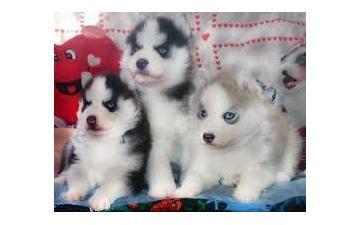 CUTE S.I.B.E.R.I.A.N H.U.S.K.Y Puppies: contact us at(208) 437-5475