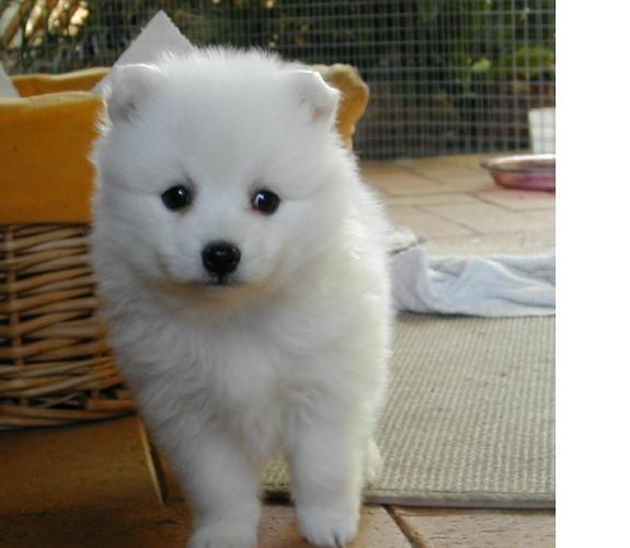 Two Gorgeous J.a.p.a.n.e.s.e   s.p.i.t.z  Puppies Available.,,..
