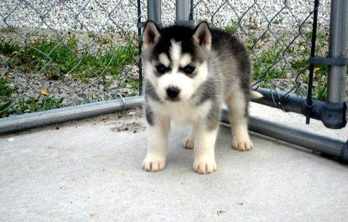 ???? AKC Cute Siberi.a.n Hus.k.y Needs New Home SMS ????????