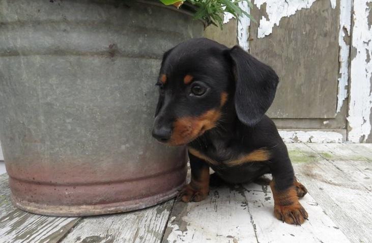 Beautiful Dachshund Male and Female Puppies.