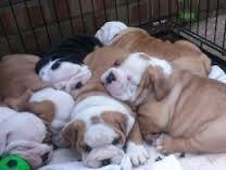FREE*FREE  Quality E n gl i s h B u ll dogs Puppies:contact us at(301) 463-7620 thanks for your