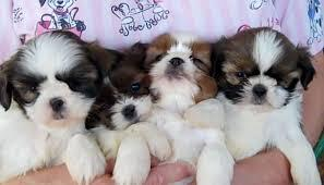 S.h.i.h T.z.u P.upp.i.e.s For F.r.e.e, Ready Now 3 months Old #(707) 840-8141