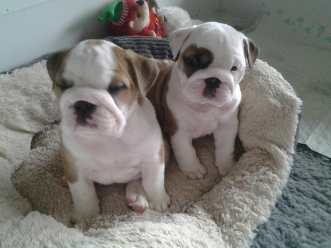 cute male and female english bulldog puppies for sale