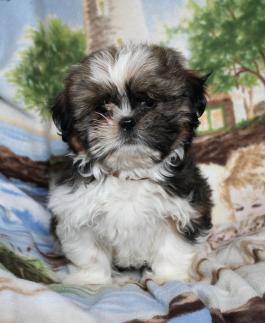 ???Pretty Female and Male Free S.H.I.H. T.Z.U puppie.s???
