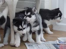 Gorgeous Siberiaan Huskee puppies looking for good homes//(404) 947-3247