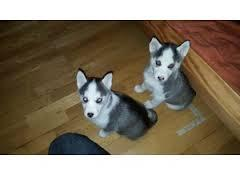 Gorgeous male and female Siberiaan Huskee puppies for free interested person should email for more d
