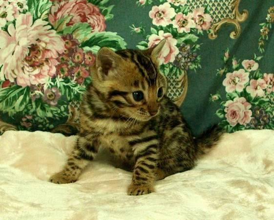 TICA registered Bengal kittens 404-448-2996