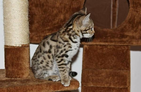 TICA registered Bengal kittens 404-448-2996
