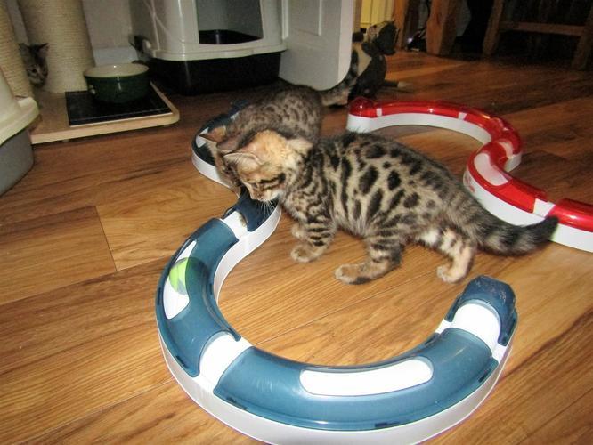 TICA registered Bengal kittens 404-448-2996##