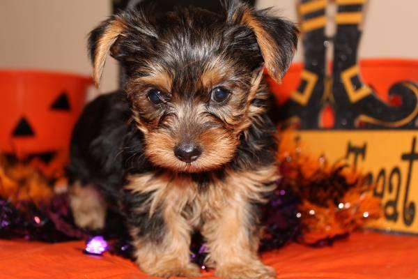 FREE Akc Charming Tea-Cup Yorkies Pu.ppies Ready  (734) 212-6404