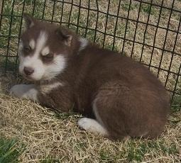 Gorgeous pomsky puppies looking for good homes//(660) 324-1895