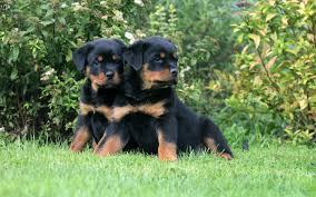 FREE FREE Female and Male R.o.t.t.w.e.i.l.e.r puppies SMS (630) 509-7004