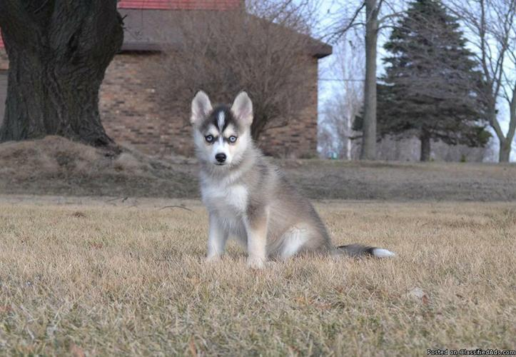 Quality pomsky  Puppies   ready for your home***Tex(478) 569-5957