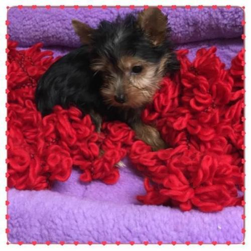 Beautiful Y.O.RKIE  Pu.pp.ies Available 915) 229-6078