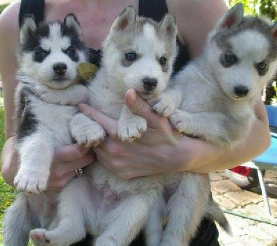 AKC Registered Siberian Husky puppies !