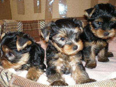 ?Y.o.R.k.i.e P.upp.i.e.s For F.r.e.e, Ready Now 12 Weeks Old # (915)519 2179