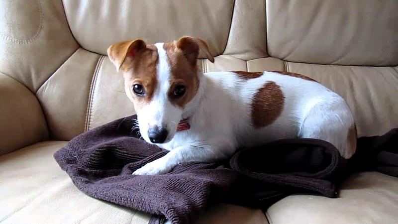 Little CUTE Jack Russell's Pu.ppies Need 4ever Home #(469) 906-0671