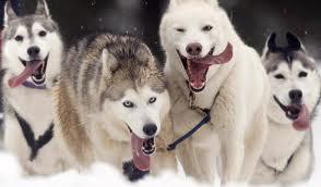 Quality siberians huskys Puppies:***Tex(410) 863-2314