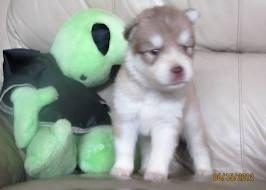 AKC free Cute Siberi.a.n Hus.k.y Needs New Home SMS 410-863-2314