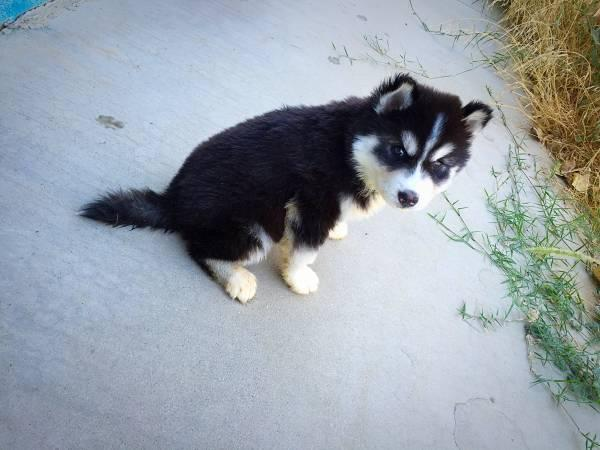Blue Eyes male and female Siberi.a.n hus.k.y Pu.ppies ) Need Home