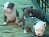 Cute Female and Male Pi.t.b.u.l.l puppies For Good Homes (313) 429-4150