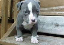 Cute Female and Male Pi.t.b.u.l.l puppies For Good Homes (313) 429-4150