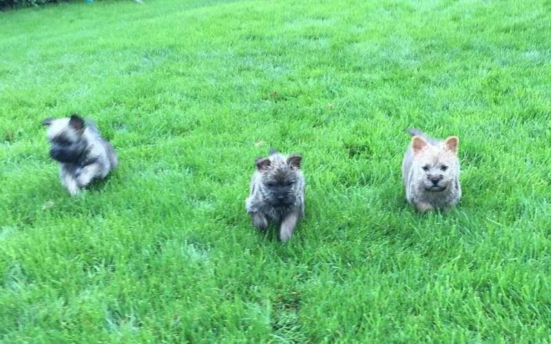 Pedigree Registered Cairn Terrier Puppies