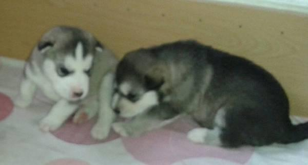 %$% Free Fantastic Female and Male H.u.s.ky Pu.pp.ies for new home %$% (909) 686-0224