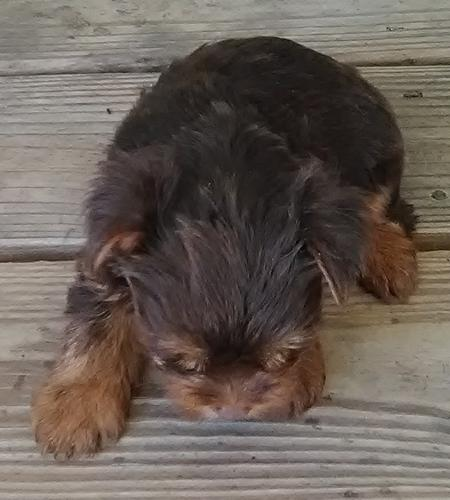 PennySaver   AKC/CKC/CPR Registered Toy Yorkie Girl Puppy