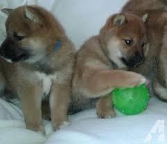 MALE AND FEMALE S.H.I.B.A I.N.U Puppies SMS (240)2731877