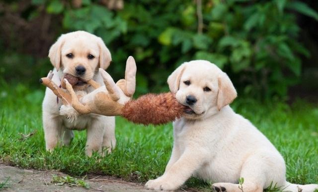 .. Labradors retriever Puppies to good homes..