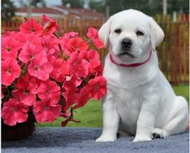 .. Labradors retriever Puppies to good homes..
