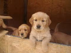 Top Quality Golde.n Retrieve.r Pups . (254) 836-2882