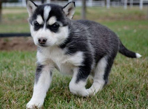 Quality siberians huskys Puppies: