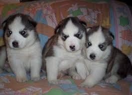 Blue eyes siberianss huskyss Pups to good homes