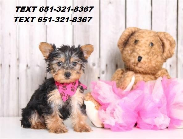 XS owned Yorkie Puppies On adoption.