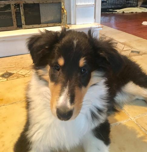 Collie Puppy - 9 weeks House Broken, Leash Trained