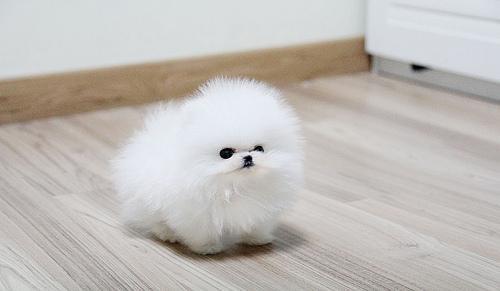bcvdhfjfk Healthy p.o.m.e.r.e.n.i.a.n Puppie.s puppies!!!(508) 622-5152