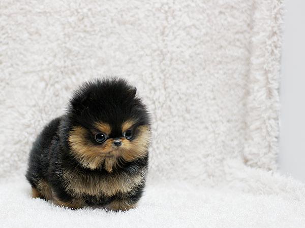 Sweet P.o.m.e.r.a.n.i .a.n puppies (631) 533-0129