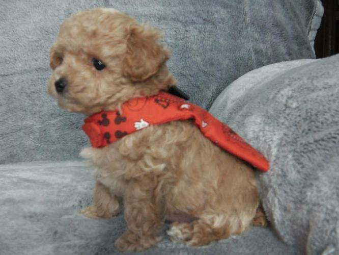 Akc Toy Poodles Ready for a good home