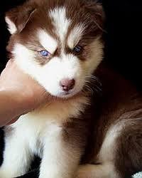 Blue eyes G.orgeous(P.uppies)Nee.d Home