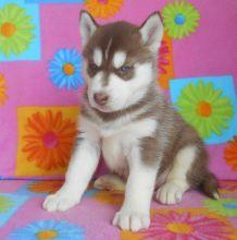 Gorgeous pomsky puppies looking for good homes///
