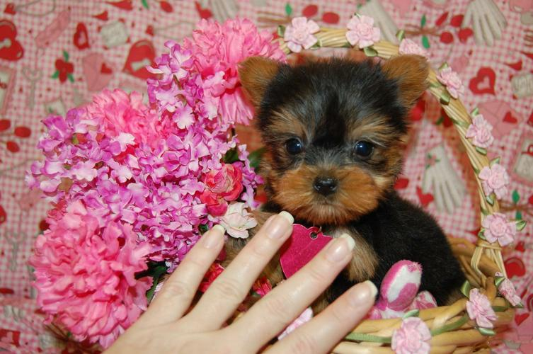 $200 Tea Cup yorkiess puppies (203) 296-0014