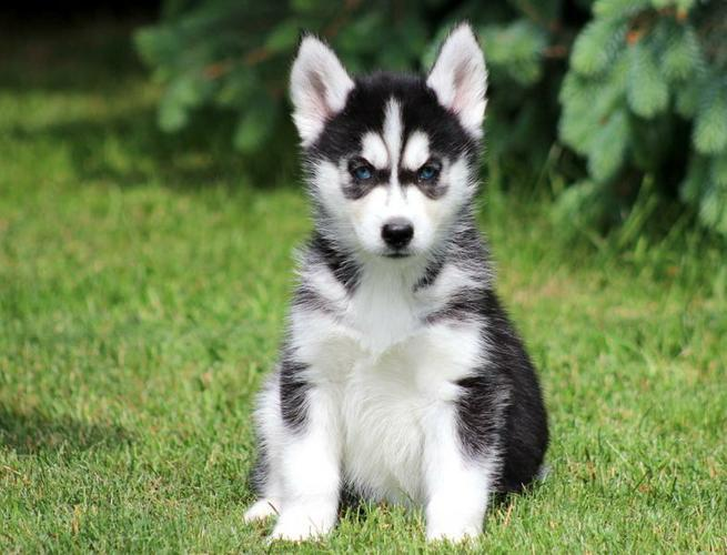 CUTIE S.I.B.E.R.I.A.N H.U.S.K.Y Puppies: contact us at (412) 294 9855