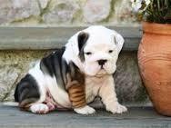 ACTIVE Cute registered Fine M/F English B.u.l.l.d.o.g Puppies!!!