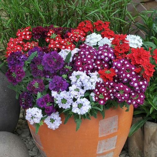 Flower Seeds: Verbena Butterfly Mixed Garden Seeds Packets