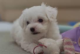 Potty Trained M.a.l.t.e.s.e Pups for Re- homing:...