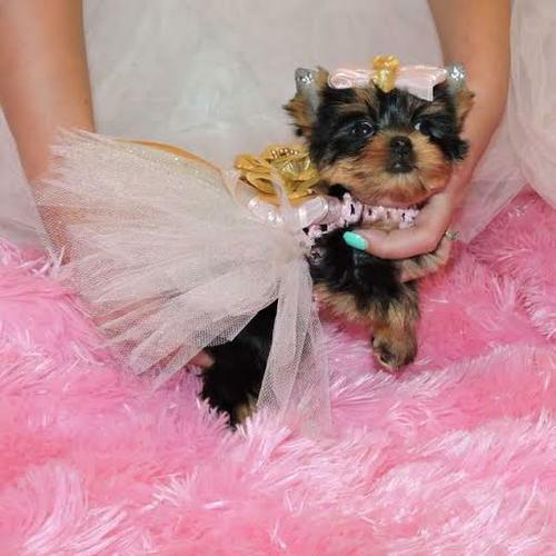 * # #  Quality Teacup Yorkies Puppies:....** (317) 643-0215