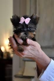 * # #  Quality Teacup Yorkies Puppies:....** 786-509-4680